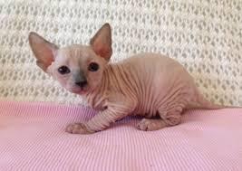 Do Hypoallergenic Cat Breeds Actually Exist – Meowingtons