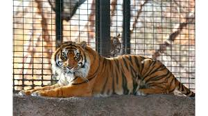 100 Tiger Truck Stop Louisiana Zookeeper Hospitalized After Tiger Attack At Topeka Zoo