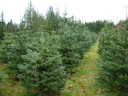Nordmann Fir Christmas Tree Smell by Grand Fir A Tradition Bowen Tree Farm