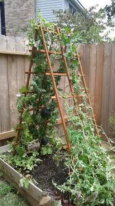 Fertilizer For Pumpkins And Watermelons by Watermelon Vine Vining Up Trellis Garden Pinterest