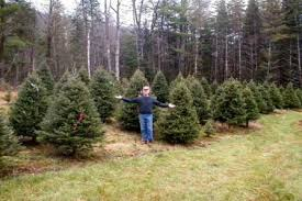 Nordmann Fir Christmas Tree Seedlings by Christmas Trees Redrock Farm