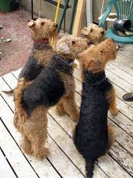 Do Airedale Puppies Shed by Breed Of The Week Airedale Terrier Perfect Pooch