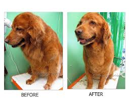 My Short Haired Dog Sheds A Lot by Pet Grooming The Good The Bad U0026 The Furry Grooming A Golden