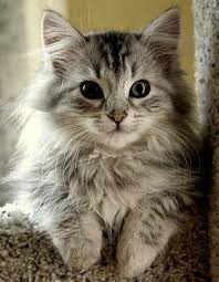 haired cat awesome dogs and cats top 5 haired cat breeds wallpaper
