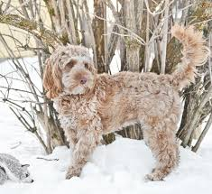 cockapoo dog breed information buying advice photos and facts