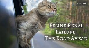 renal failure in cats my cat has renal failure what is his expectancy