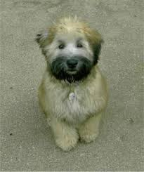 List Of Non Shedding Hypoallergenic Dogs by Best 25 Small Non Shedding Dogs Ideas On Pinterest Non Shedding