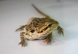 Bearded Heat L Timer by Bearded Reptiles Rehome Buy And Sell In Hshire Preloved