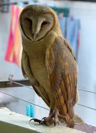 Barn Owl Watch The Secret To Why Barn Owls Dont Lose Their Hearing 162 Best Owls Images On Pinterest Barn And Children Stock Photos Images Alamy Owl 10 Fascating Facts About Species List Az 210 Birds Drawing Photographs Of Cave By Tyler Yupangco 312 Beautiful Birds