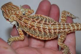 Bearded Dragon Shedding Process by Bearded Dragon 1