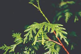 Christmas Tree Species by U Cut Christmas Trees Fresh From The Forest Washington Coast