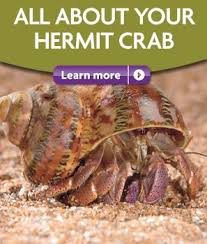 Do Hermit Crabs Shed Their Body by 104 Best Hermit Crabs Images On Pinterest Hermit Crabs Hermit