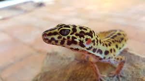Crested Gecko Shedding Behavior by Leopard Gecko Substrate Leopard Gecko Care Packet