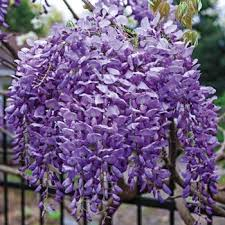 reblooming bone hardy wisteria blue moon 81541 michigan bulb