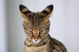 cat in house 10 largest domestic cat breeds some are