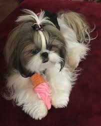 Shih Tzu Affectionate and Playful