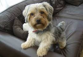 Hypoallergenic Dog Breeds That Dont Shed by Dogs That Dont Shed 23 Hypoallergenic Dog Breeds House Dogs That