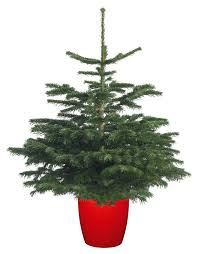 Fraser Fir Christmas Trees Delivered by Nordmann Fir Pot Grown Christmas Trees Delivered