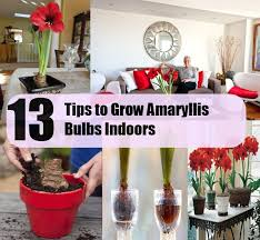 13 tips to grow amaryllis bulbs indoors diycozyworld home