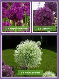 allium bulbs for sale allium bulb collection gold medal winning