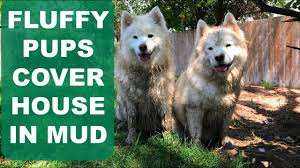 Do Samoyed Dogs Shed Hair by Two Samoyeds Cover My House In Mud Adventures In Home Owning