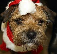 Do Border Terriers Shed by Border Terriers United Home Facebook