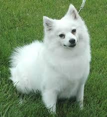 Toy American Eskimo Dog Shedding by The 25 Best Miniature American Eskimo Ideas On Pinterest