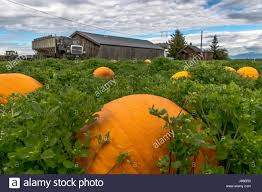 Connecticut Field Pumpkin by A Very Wonderful Pumpkin Batch In Ladner Bc Stock Photo Royalty