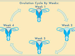 Thick Uterine Lining Shedding During Period by What Happens After Ovulation Babymed Com