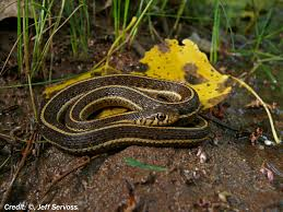 Northern Mexican Gartersnake Rediscovered Near Colorado River