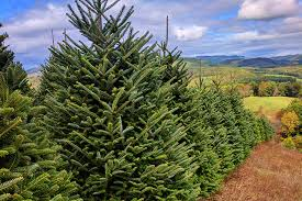 Delancey Street Christmas Trees Berkeley Ca by Wonderland Trees Family Owned Christmas Tree Lot
