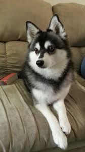 Do Pomskies Shed Fur by Best 25 Alaskan Klee Kai Ideas On Pinterest Miniature Husky