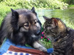 Dogs That Dont Shed Keeshond by Life With A Keeshond