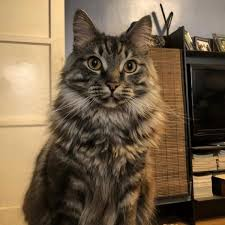 Norwegian Forest Cat Cats For Adoption Near West Windsor
