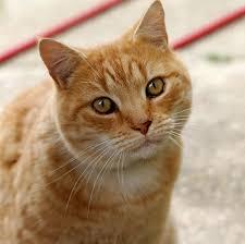 cat cat wiktionary