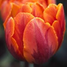 tulipa orange princess gardens bulbs corms rhizomes
