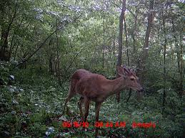 Does Deer Shed Their Antlers by Antler Growth Part Ii Missouri Department Of Conservation