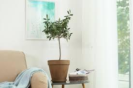 topf mit olivenbaum auf fensterbrett stockbild bild