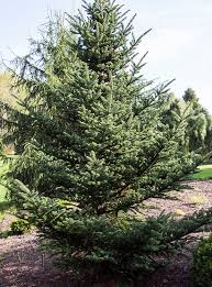 Ge Franklin Fraser Fir Christmas Tree by They Say This Photo Is The Reason Americans Decorate Christmas