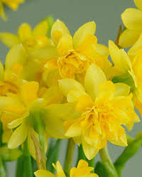 narcissus t礫te deluxe t礫te boucl礬 bulbs buy at