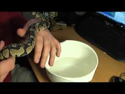ball python shedding process part 1 and help tips youtube