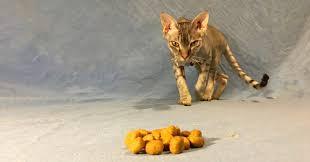 cat wont eat help my cat won t eat sick cat not walkerville vet