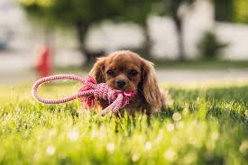 Miniature Dog Breeds That Dont Shed by Popular Small And Toy Dog Breeds In The Uk James Wellbeloved