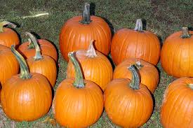 Free Pumpkin Patch Charleston Sc by Johnson Farms U2014 Hayrides Corn Maze Pumpkin Patch Gem Mining And