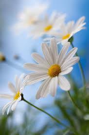 471 best Daisy images on Pinterest