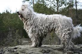 Non Shedding Dogs Large by Dog Komondor Is A Large White Dog With Long Fur Like A Collection