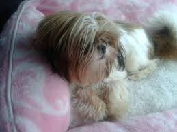 Tomorrow Shih Tzu