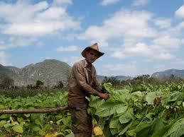 Tobacco Fields In Pinar Del Rio