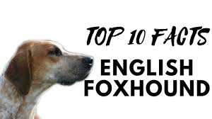 Black Mouth Cur Shed Hunting by English Foxhound Top 10 Interesting Facts Youtube