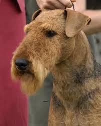 Airedale Terrier Non Shedding by 1468 Best Airedales Images On Pinterest Airedale Terrier